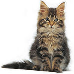 CAT RESCUE Maine Coon Adoptions