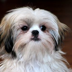 Shih Tzu Behavior