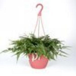 Fern Rabbits Foot in 8.0 Hanging Basket