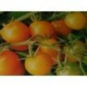 Sun Gold Cherry Tomato Seeds (Burpee)